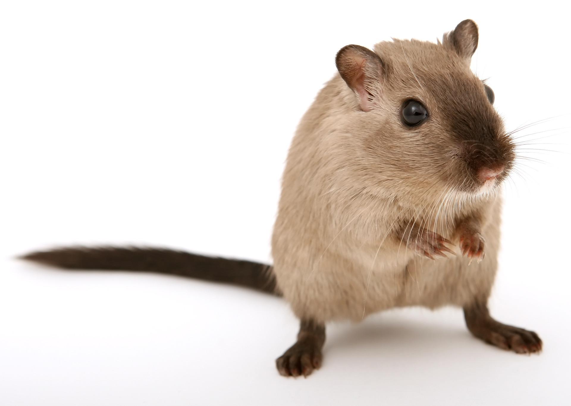 Biało-brązowy szczur, który stoi