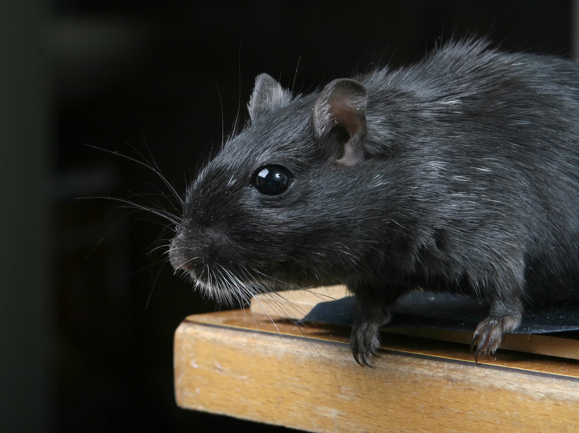 Czarny szczur patrzy się