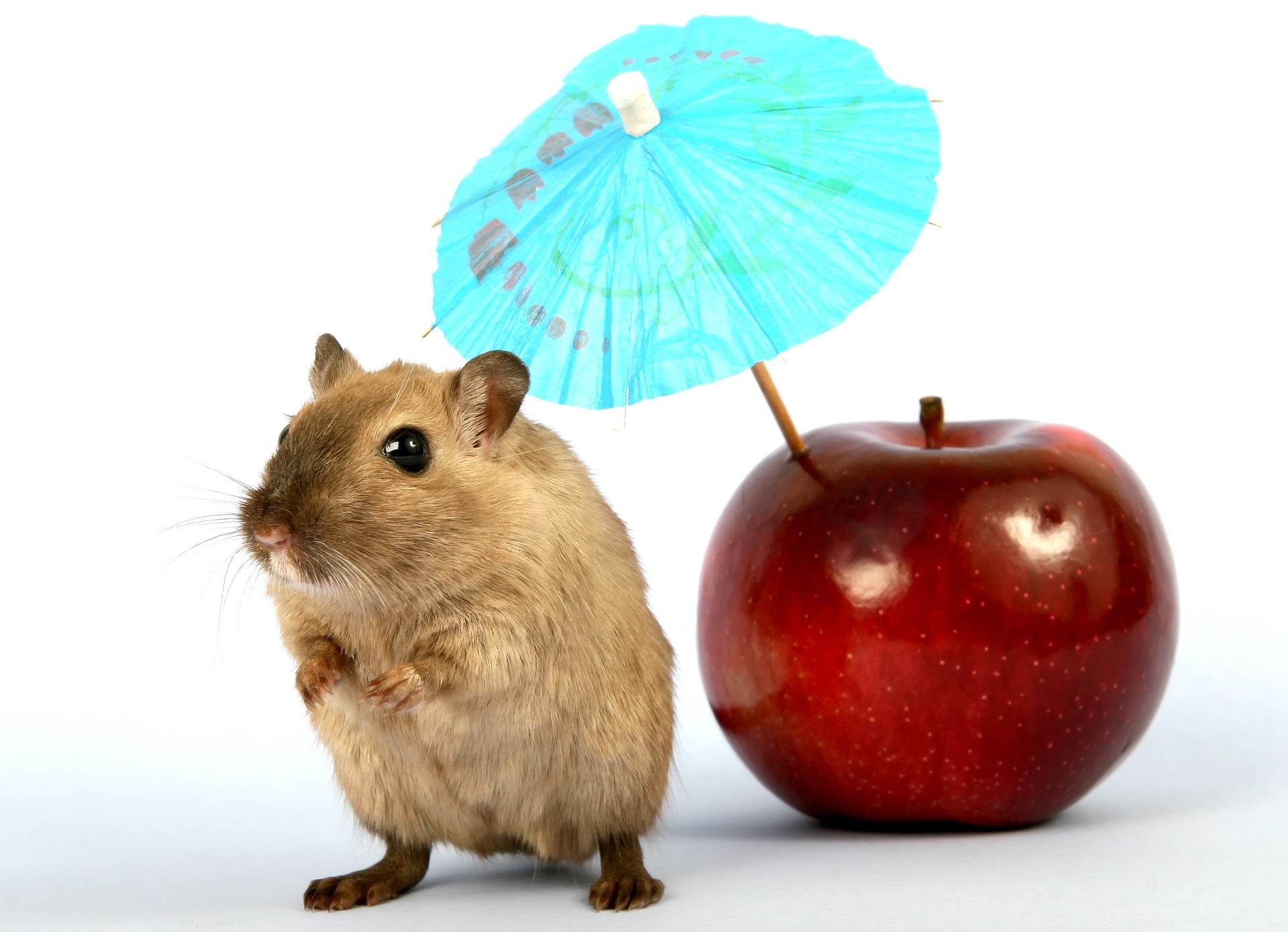 Szczur stoi obok jabłka z wbitą małą parasolką